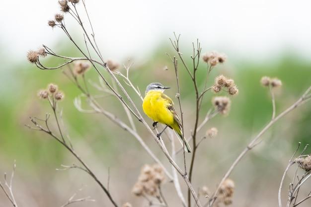 Close-up na alvéola-amarela, sentado em um galho
