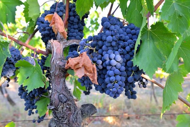 Close-up na bela uva preta em folha crescendo no vinhedo
