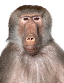 Close-up na cabeça de um babuíno - simia hamadryas em um branco isolado