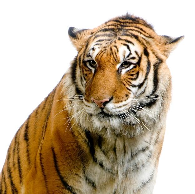 Close-up na cara de um tigre isolada.