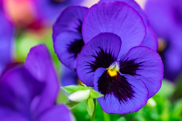 Close up na flor do amor-perfeito em dia ensolarado.