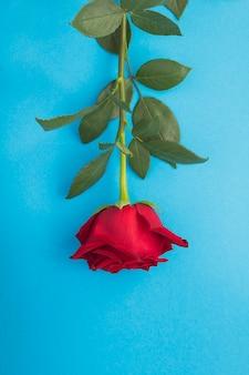 Close up na rosa vermelha sobre fundo azul. localização vertical.