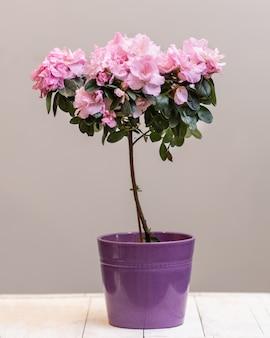 Close-up na topiária roxa de azálea na planta de flor