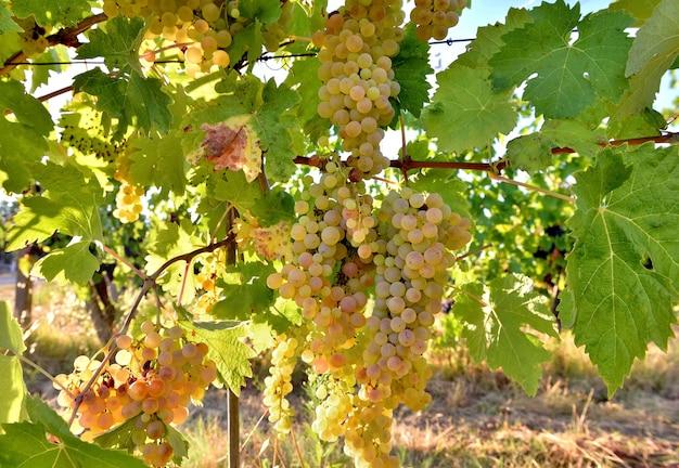 Close-up na uva branca na folha crescendo no vinhedo