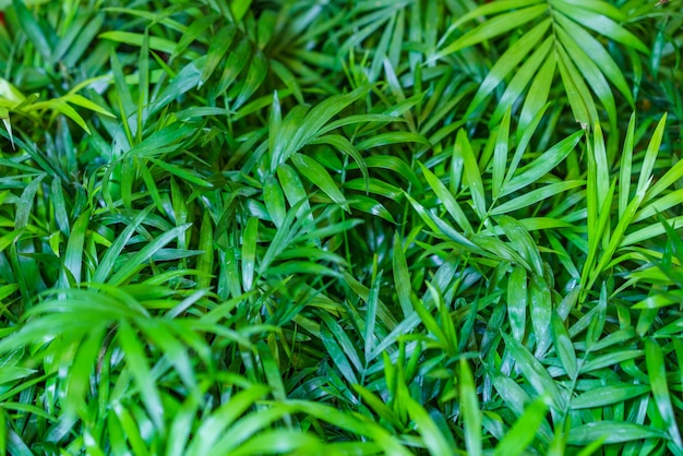Close up nas folhas de uma palmeira de bambu chamaedorea seifrizii de plantas de interior folhas verdes de ...