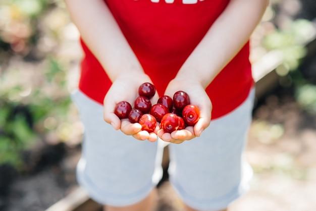 Close-up nas mãos de uma cereja vermelha madura num dia de verão.
