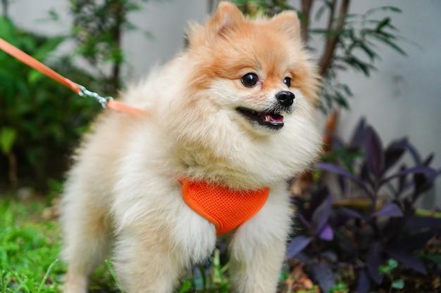 Close-up no animal de estimação, o dono do animal caminha com uma raça de cachorro pequeno ou pomerânia e olha para algo