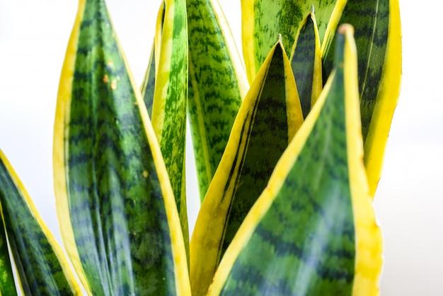 Close-up no branco das folhas de uma planta verde, trifasciata do sansevieria.