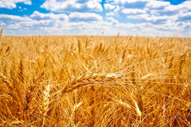 Close-up no campo fértil de trigo maduro