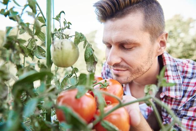 Close-up no homem olhando para sua colheita de tomate