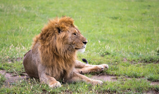 Close-up no leão deitado na savana