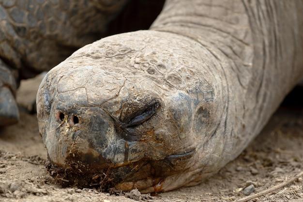 Close-up no perfil da tartaruga de galápagos