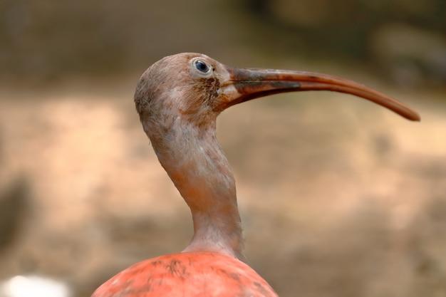 Close-up no perfil do pássaro ibis escarlate
