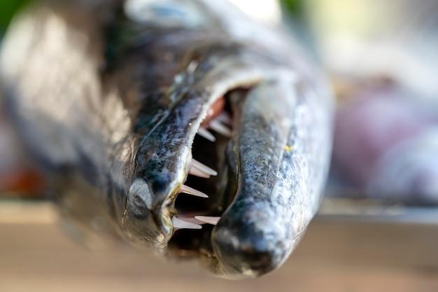 Close-up nos dentes da barracuda. barracuda de peixe fresco do mar no mercado de comida de rua na tailândia. conceito de frutos do mar. barracuda crua para cozinhar