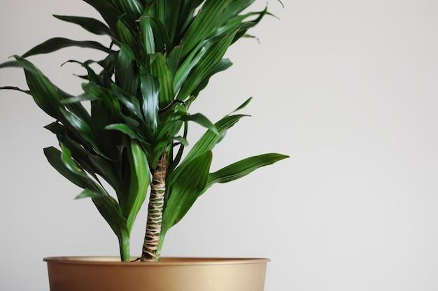 Close up of dracaena fragrans home plant design de estilo minimalista lugar vazio seu texto