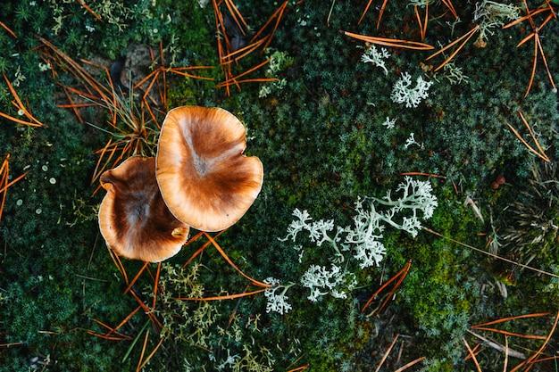 Close-up oleoso dos cogumelos comestíveis na floresta no musgo azulado.