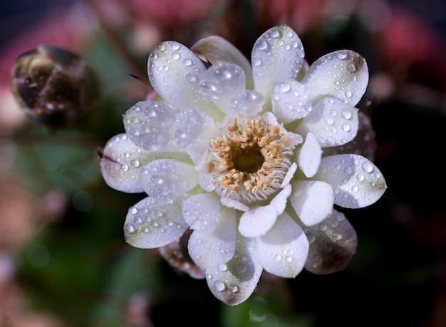 Close-up ou macro cacto de flor-de-rosa.