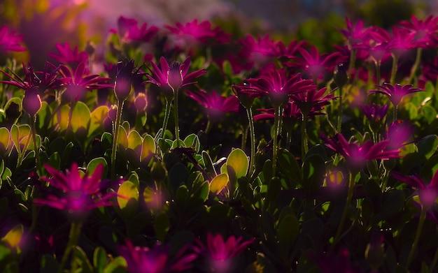 Close up ou macro foto roxa gazania florescendo no jardim de flores