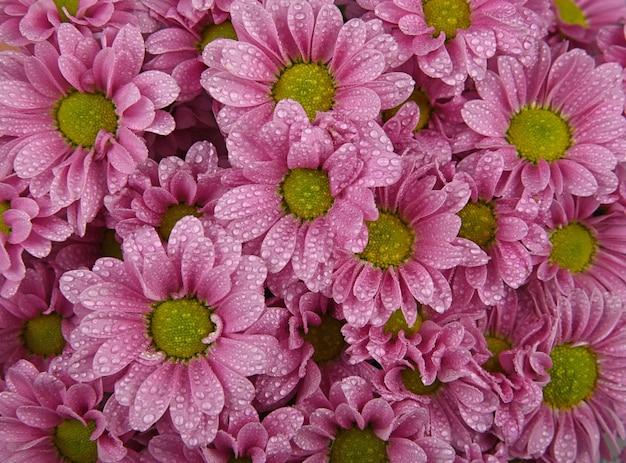 Close-up padrão de fundo de flores de crisântemo rosa fresco ou margarida com gotas de água após a chuva, vista superior elevada, diretamente acima