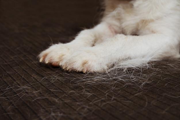 Close-up peludo jack russell cão, degração de cabelo durante temporada de molt no sofá.