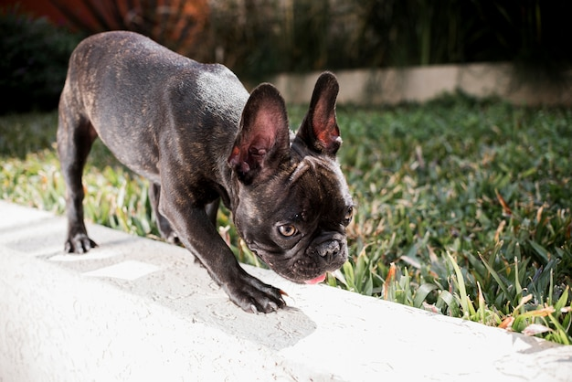 Close-up pequeno bulldog francês ao ar livre