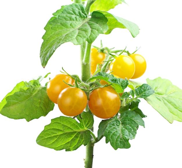 Close up pequeno de tomate cereja amarelo isolado no branco