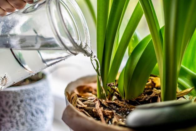 Close-up pessoa derramando um vaso de flores em casa com água fresca pura f