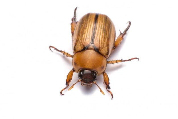 Close-up pode besouro ou cockchafer isolado no fundo branco