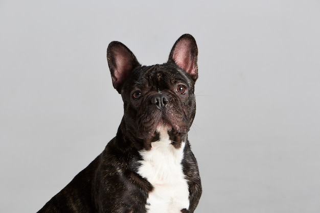 Close-up portrair de um bulldog francês preto e branco