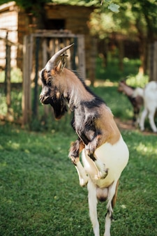 Close-up, pular, fazenda, cabra, em, estável