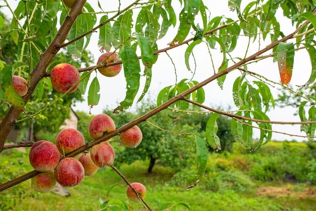 Close-up, ramo de um pêssego de árvore com frutos suculentos vermelhos maduros em um jardim verde. vitaminas de verão