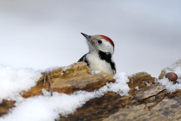Close-up retrato de inverno de um pica-pau malhado do meio sentado em um tronco coberto de neve ao longo de uma avelã