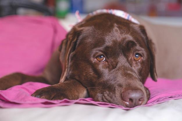 Close-up rosto chato marrom labrador cachorro olhando para a câmera
