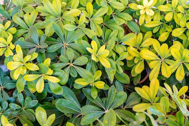 Close up schefflera folhas verdes e amarelas em dia ensolarado