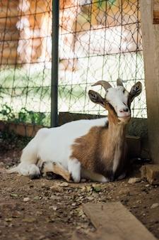 Close-up sentado cabra fazenda no estábulo