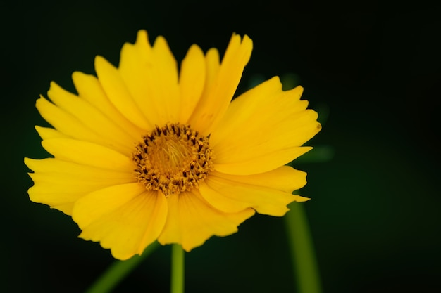 Close-up shot de uma flor de carrapato amarelo em um desfocado