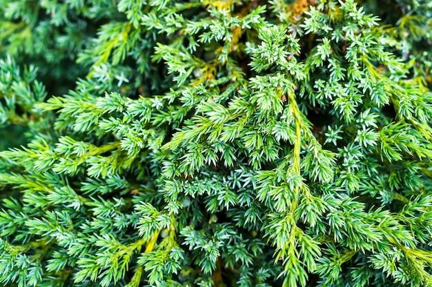 Close-up shot de uma vibrante textura de arbusto de pinheiro