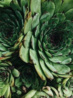 Close-up textura de suculentas. suculentas de cacto em uma plantadora