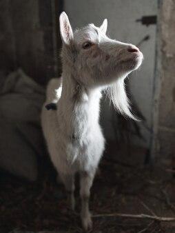 Close-up tiro da cabra
