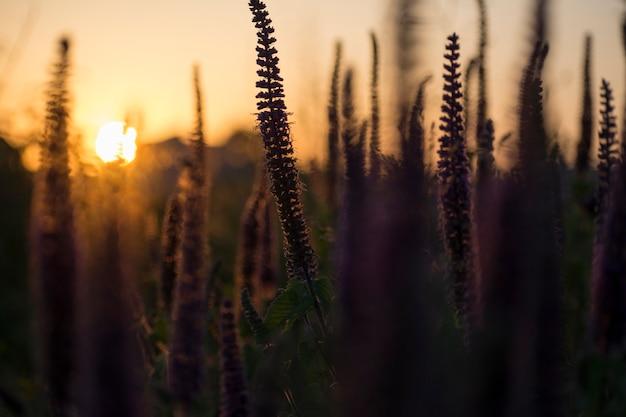 Close-up, tiro, de, arca, silueta, roxo, ervas, em, cheio, florescer, em, pôr do sol