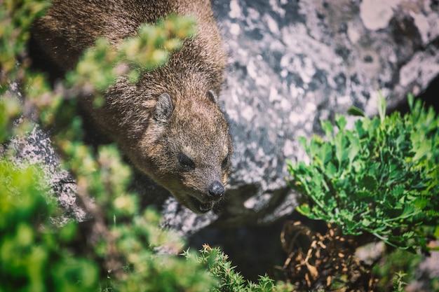 Close-up tiro de um hyrax ou dassie no topo da table mountain, cape town áfrica do sul