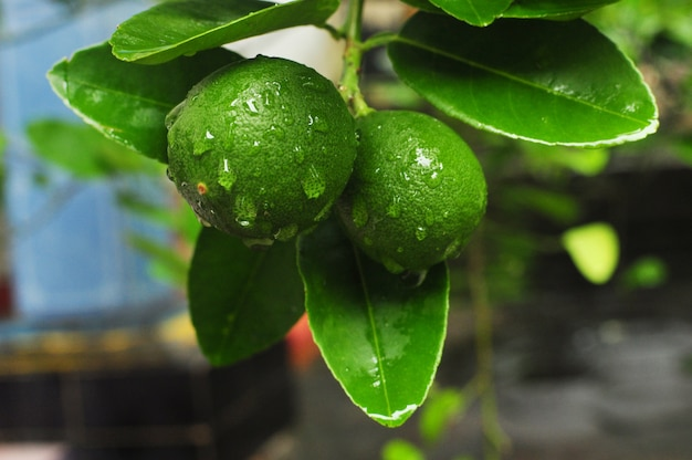 Close-up, tiro, de, um, ramo, rolamento, grande, verde, limes