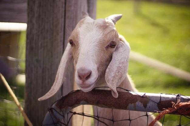 Close-up tiro de uma cabra branca e marrom com orelhas compridas e chifres com a cabeça sobre a cerca de madeira