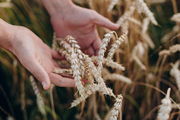 Close up uma mão masculina que prende um trigo. vista do topo