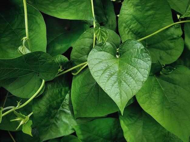 Close-up verde coração forma folha da planta de escalada