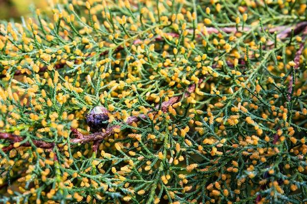 Close-up verde de fundo de chamaecyparis lawsoniana, close-up de ramos de cipreste, primavera