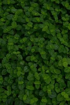 Close-up verde folhas de charlie para o fundo