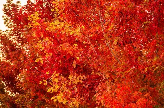 Close up vermelho de árvores de outono