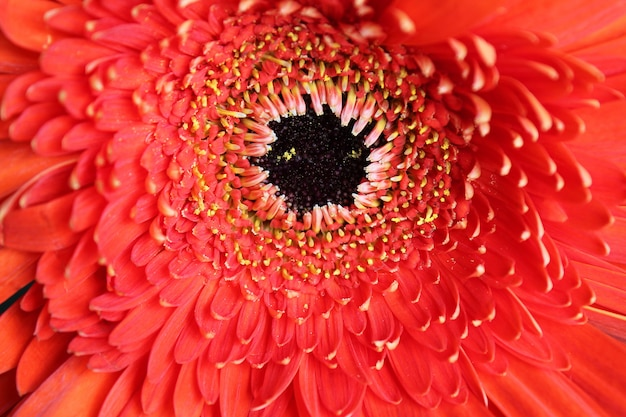 Close up vermelho do gerbera da flor. condição natural.