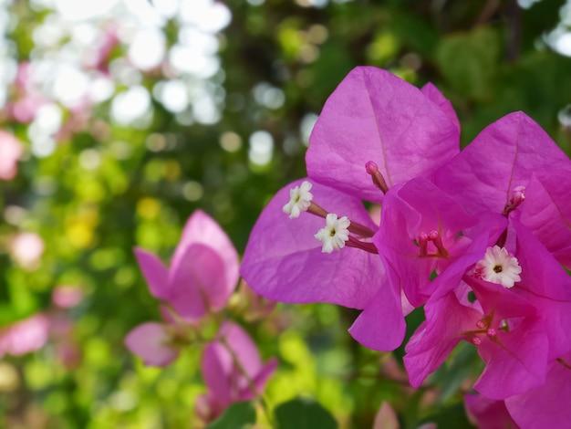 Close-up vibrante rosa flor de buganvílias no jardim